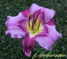 "Hemerocallis ""Priscilla's Dream"" Taglilie"