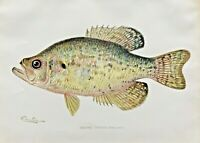 1902/03 RARE Antique DENTON FISH Print CRAPPIE Pomoxis annularis CHROMO L@@K