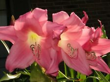 Crinum Lily, Charisma, large, blooming-size bulb, NEW, Amazing!