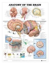 Anatomy of Brain Chart/Charts/Models Anatomical