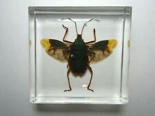 DALPADA PERELEGANS Stink Bug. Real insect immortalized in clear resin