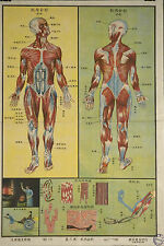 Framed Vintage Chinese Medical Print – Muscle System (Picture Anatomy Body Art)