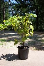 Thompson Seedless Grape 1 Gal. Live Healthy Vine Plants Vines Plant Sweet Grapes