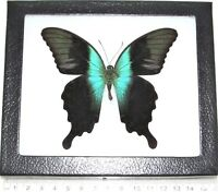 REAL FRAMED BUTTERFLY BLUE GREEN PAPILIO PERANTHUS SWALLOWTAIL