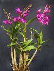 Dendrobium Johnathan's Glory 'Dark Joy',  orchid plants