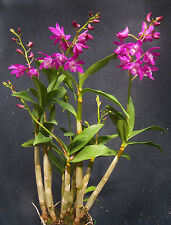 Dendrobium Johnathan's Glory 'Dark Joy' in spike, orchid plant