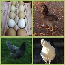 10 Eier, grüne,keine Bruteier von wunderschönen Grünleger / Araucana