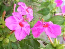 WUNDERBLUME PINK 10 Samen Mirabilis Jalapa