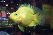 X5 YELLOW JELLYBEAN PARROT CICHLID - FRESHWATER FISH  LIVE - FREE SHIPPING