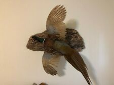 Ringneck Rooster Pheasant - Flying Left - Mount - Taxidermy