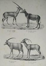 Antelope GAZELLE Hunting Hunter Africa Kenya Kalahari Serengeti Safari Horn Animal Park
