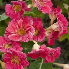 Kings Seeds - Flower - Nasturtium Cherry Rose Jewel - 30 Seeds