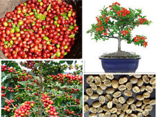 20PCs Bonsai Seeds Coffee Tree Perennial Tropical Home Gardening Potted Indoors