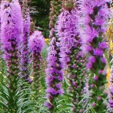 Liatris spicata - Gayfeather - Violet / Purple - appx 300 seeds