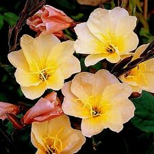 "Evening Primrose (Oenothera odorata) ""Apricot Delight"" x 50 seeds"