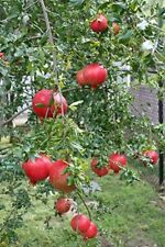 "LIVE PLANT SEEDLING POMEGRANATE FRUIT Tree Rooted 3-8"" Tree Garden Bonsai"