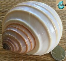 1 Large Tonna Allium Sea Shell For Hermit Crab, Craft Or Collection