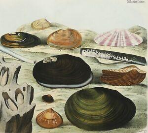 1870 Antique lithograph SEASHELLS Sea Shells Molluscs Sea Life Mollusks Bivalves