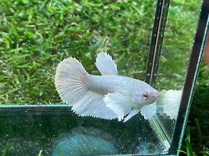 Live Betta Fish - Female - Fancy Dumbo Betta HMPK , Age 4 month From Thailand