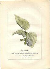 Stampa antica PIANTE DELLA BIBBIA GELSO NERO Morus nigra 1842 Old antique print
