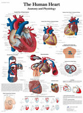The Human Heart Anatomy And Physiology Human Organ View Art Poster Print 24x36