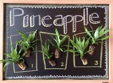 Collection Of Pineapple Starter Plants