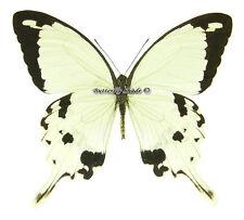 Unmounted Butterfly/Papilionidae - Papilio dardanus dardanus, male, CAR