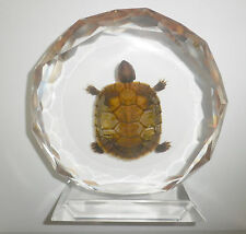 Table Stand Display Farmed Red-eared Slider Turtle Specimen Clear Ac026-5