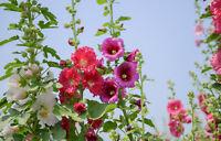 Stockrosen - Mezcla Colores (Alcea Rosea) Aprox. 30 Semillas/Paquete