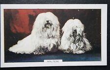Maltese   Toy Dog    1930's Original  Vintage Coloured Card # VGC