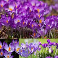 100pc Crocus Seeds Sativus Bulbs Saffron Flowers Best Organic Spice Garden Plant