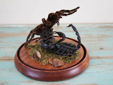Mortal Combat Real Tarantula Spider vs Scorpion Taxidermy in a Dome