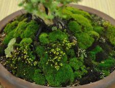 Live Bonzai Moss Covers 20x10cm bonzai, terrarium, orchids, basket, art, craft