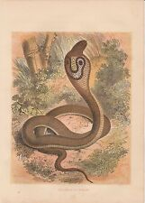 Brillenschlange Kobra Naja naja Indian cobra kolorierter HOLZSTICH von 1866