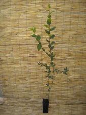 CARPINUS BETULUS Vq 9x9x20 1 Pianta 1Plant Carpino o Carpine bianco Hornbeam