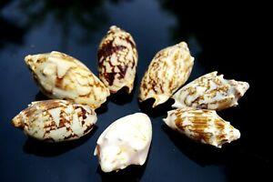 Bats Wing Sea shells, Medium Seashells for Craft - Aquarium - Decoration