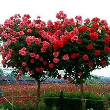 100 Pink Rose tree Seeds, DIY Home Garden Potted ,Balcony & Yard Flower Plant