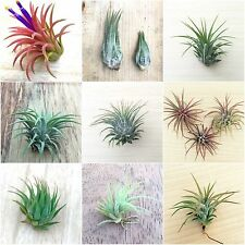 (10i) - 10 Pack assorted Tillandsia IONANTHA air plant lot collection color