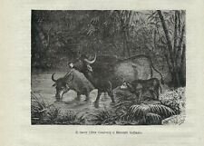 Stampa antica GAUR BISONTE INDIANO Bos gaurus 1879 Old Antique print