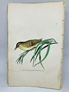 Yellow Wren - 1783 RARE SHAW & NODDER Hand Colored Copper Engraving