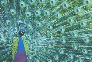 PEACOCK # 2 - COUNTED CROSS STITCH CHART