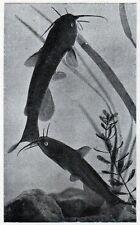 C4559 Siluro nano - Amiurus nebulosus - Stampa d'epoca - 1927 Vintage print