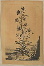 kleine Pyramiden Glockenblume  Original Abraham MUNTING Kupferstich 1696 Gärtner