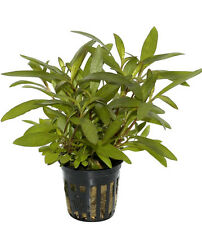 "6 x 5 cm Pots of Hygrophila corymbosa ""Siamensis"""