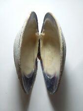 1 pair hard-shell Quahog clam