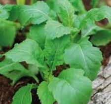 WASABI ROCKET Eruca sativa 'Superfood' plant in 100mm pot
