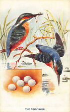 "Raphael Tuck British birds and their eggs ""The Kingfisher"" Postcard"