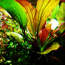 Echinodorus Red Flame Potted Amazon Sword B2G1 Freshwater Live Aquarium Plants