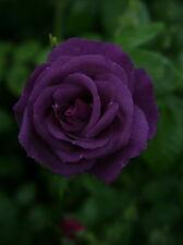 Rose Bush Seeds - Purple Splash - Rare Perennial - Fragrant Blooms - 10 Seeds