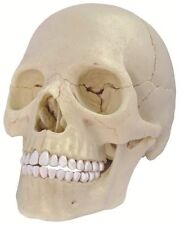4D HUMAN EXPLODED SKULL 1:2 Head Anatomy 3D Puzzle Model science Medical NEW